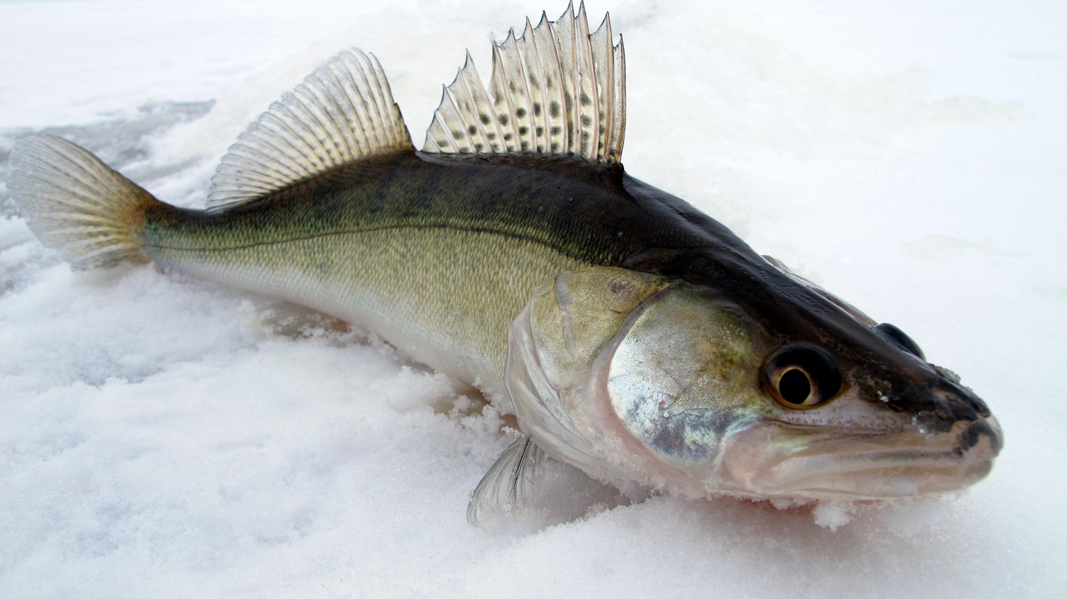 судак рыбы фото